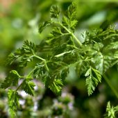 How to grow chervil
