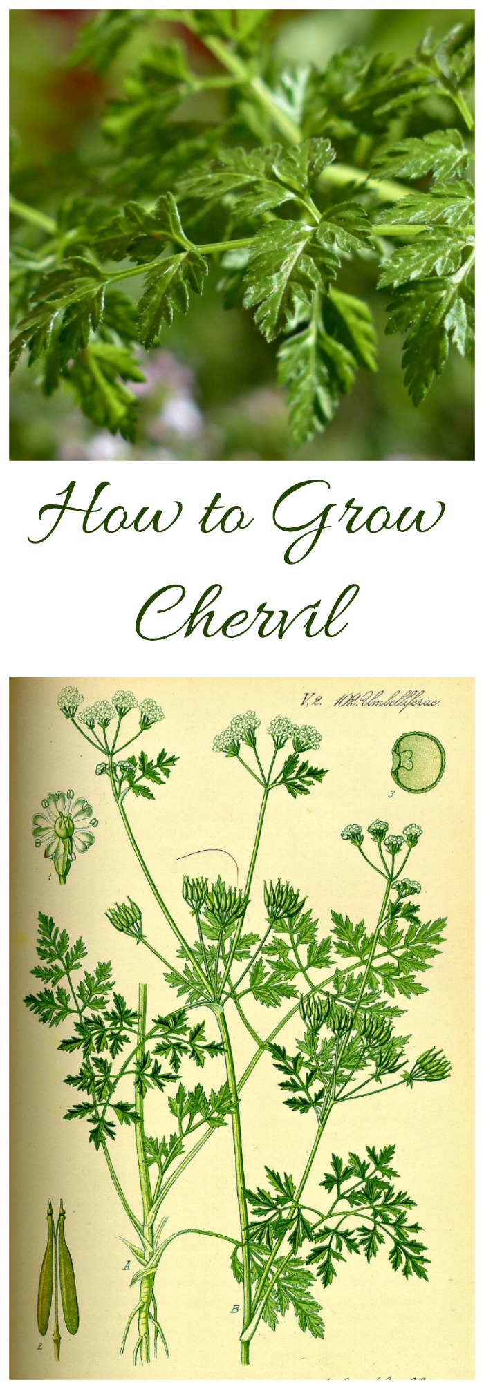 The herb chervil is widely used in French cooking. See my tips for growing chervil, plus some other substitutes. #growingchervil #chervilherb