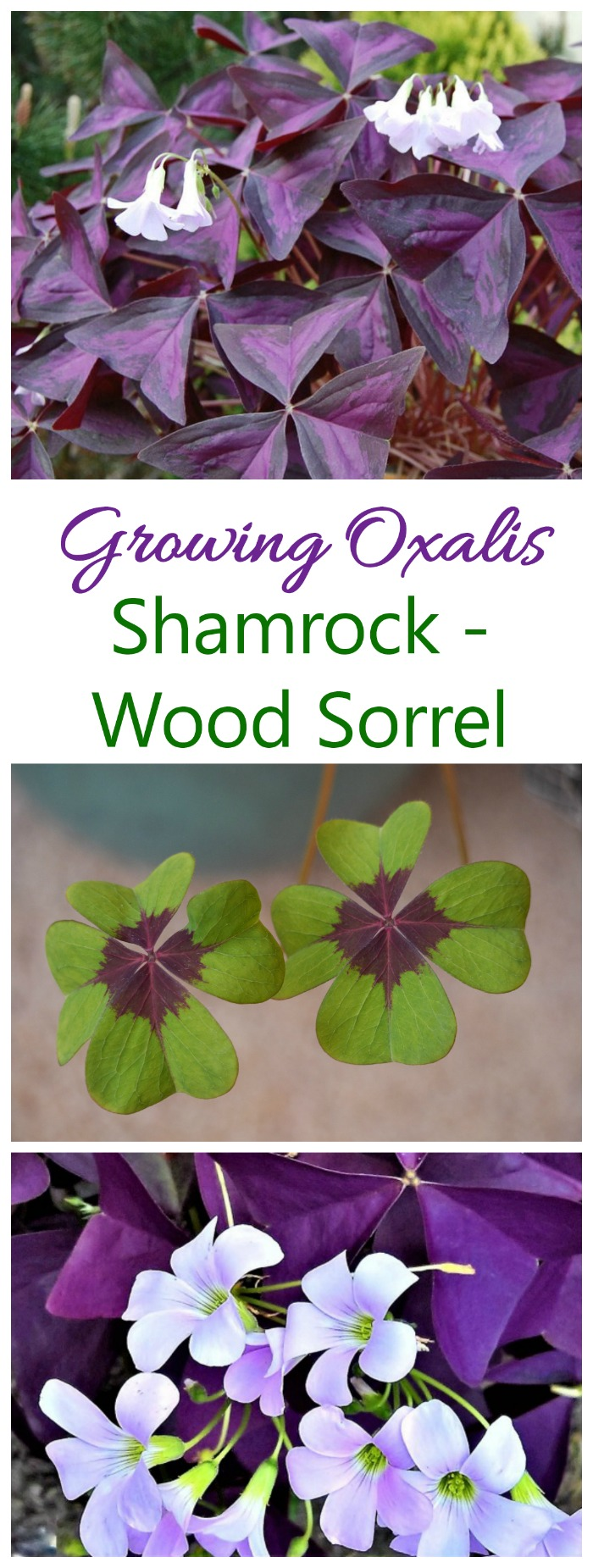 Growing oxalis outdoors or inside as a house plant is easy. #oxalis #woodsorrel