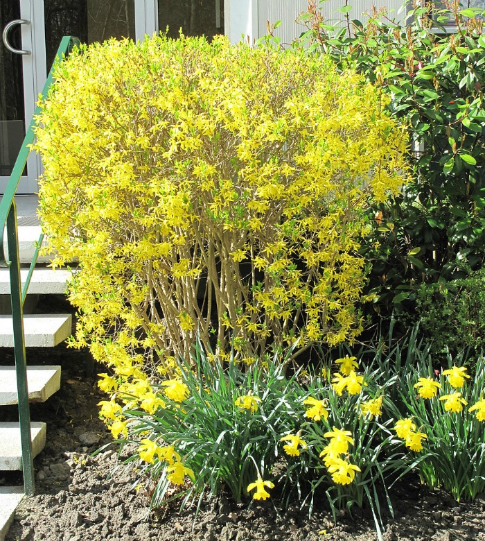 Forsythia trimmed into a box shape