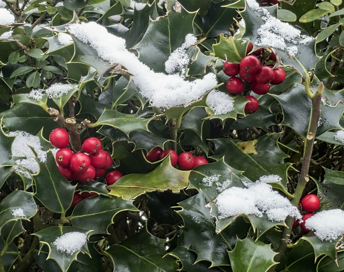 Holly bush with berries makes a great food source for winter birds