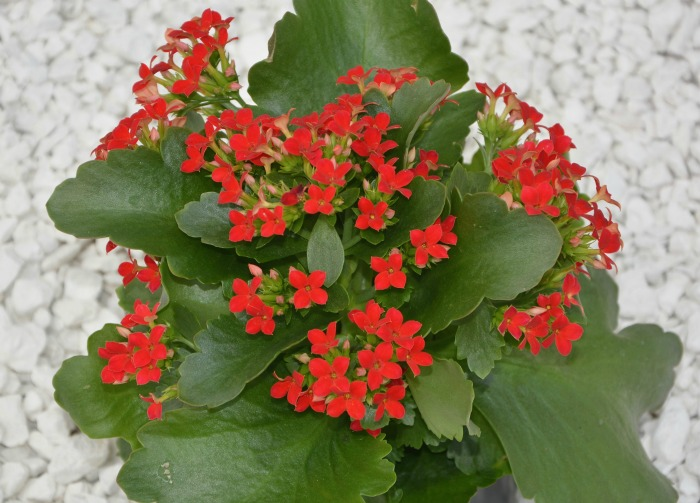 Kalanchoe in flower.