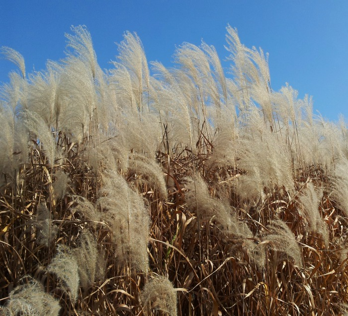 Native grasses provide seed heads for birds in winter