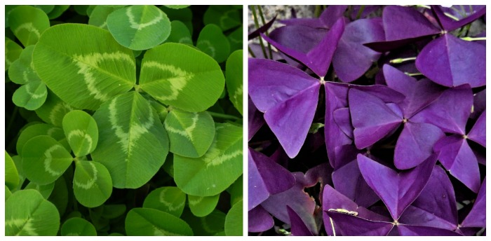 Oxalis leaves can be green or purple and are sometimes variegeate