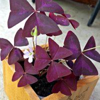 Purple Oxalis plant