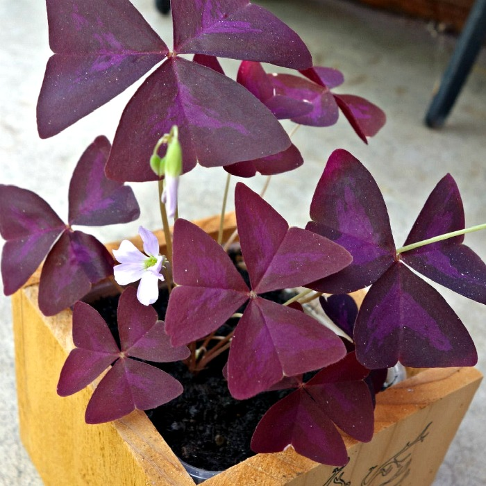 How To Grow Shamrock Plants