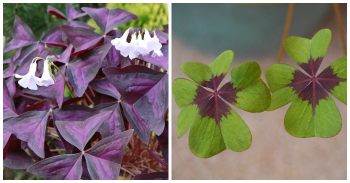 Growing Oxalis How To Grow Shamrock Plants Tips For Growing Sorrel