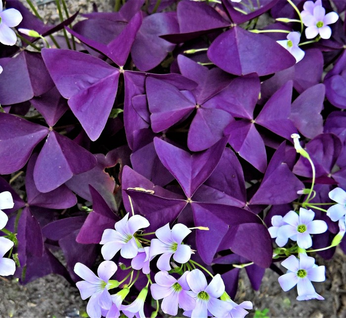 Oxalis traingularis