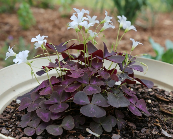 Oxalis has shamrock shaped leaves and pretty flowers. It makes a great indoor plant.