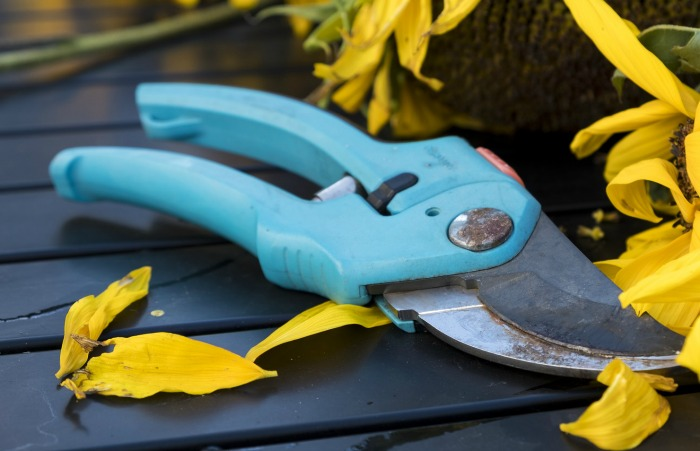 bypass pruners can be used to trim forsythia bushes when they are younger but loppers are needed for mature plants.