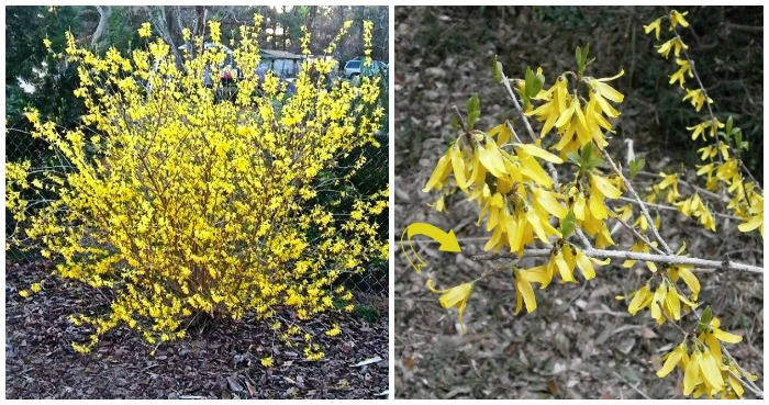 Pruning Forsythia How And When To Trim Forsythia Bushes