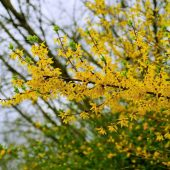 Pruning forsythia helps the plant to be managed