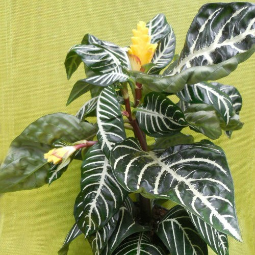 Zebra plant has spectacular yellow flowers and showy striped green leaves.