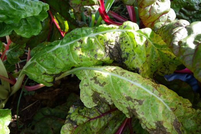 Black spot fungus on Swiss chard is one of the common vegetable garden problems