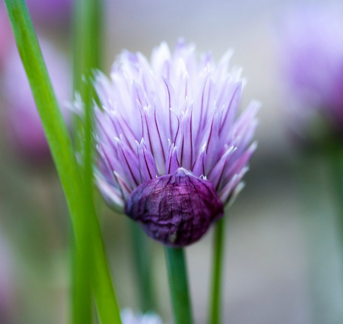 Delicate chive flowers