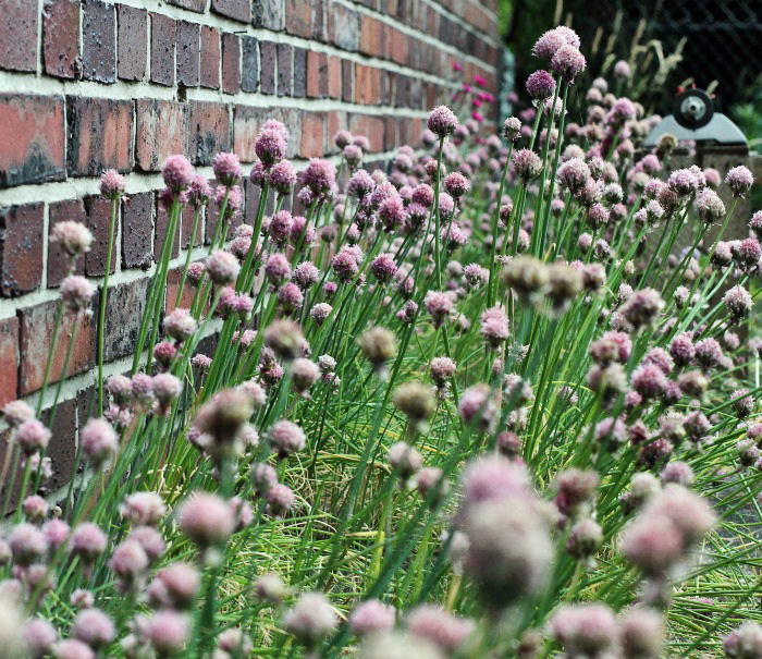 Fresh chives makes a great border plant