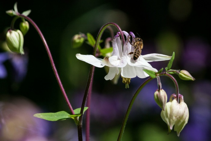 Bees and butterflies love the nectar of columbine flowers