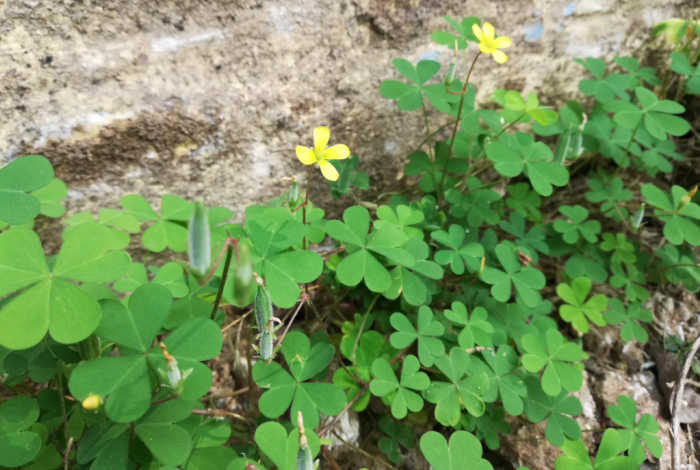 Oxalis plant care, be wary of creeping wood sorrel which is an invasive type of oxalis.
