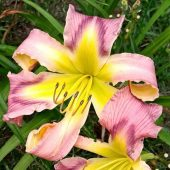 Daylily Earth Wind and Fire - with cascade petals