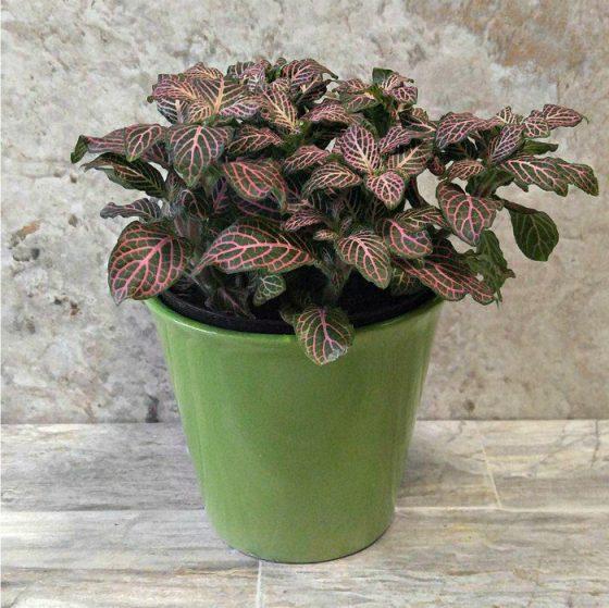 Fittonia Nerve Plant