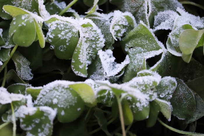 Leave of green oxalis with frost on them.