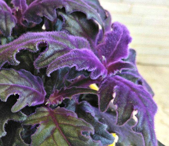 purple hairy leaves of gynura aurantiaca