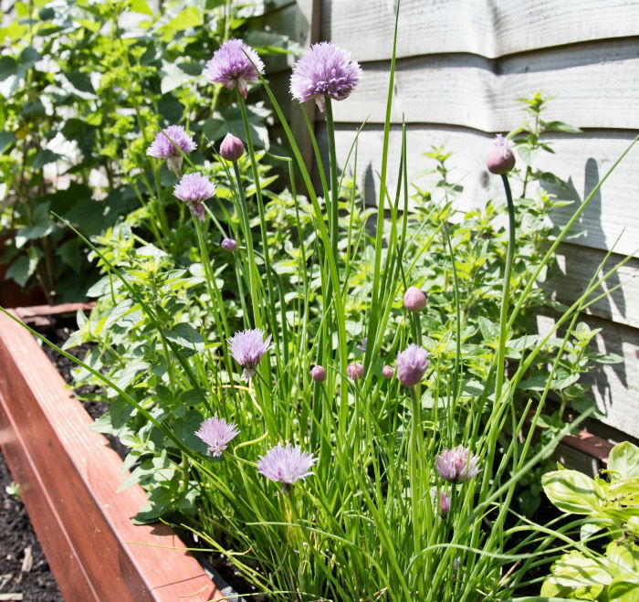 Growing chives on a deck