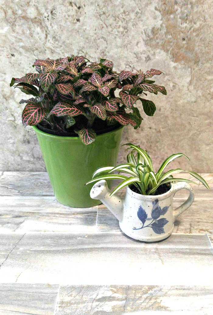 Growing Fittonia albivenis