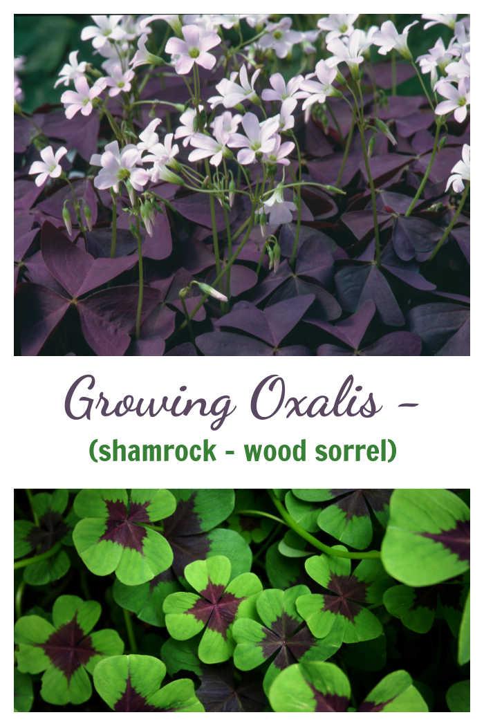 "Purple oxalis in flower and green oxalis leaves with words rewading Growing Oxalis - shamrock, wood sorrel."""""