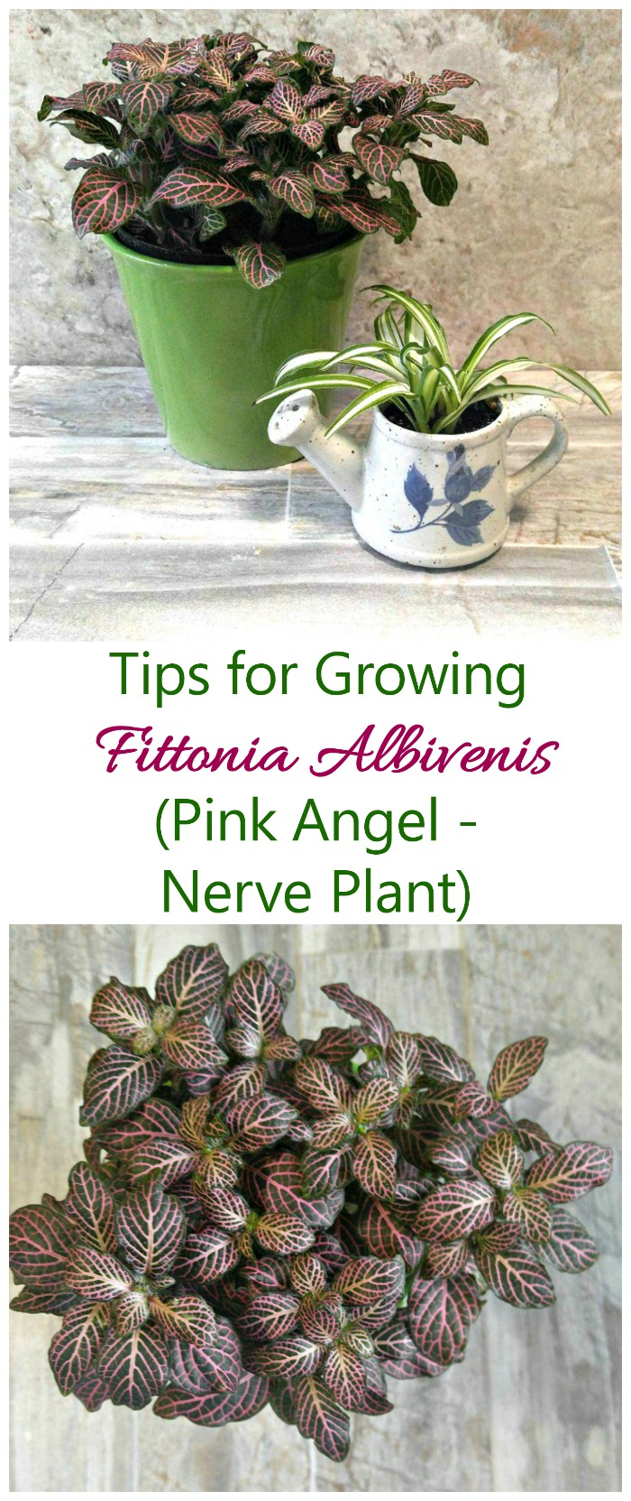 Growing fittonia albivenis how to grow nerve plant pink angel if you are looking for the ideal terrarium plant try growing fittonia albivenis it mightylinksfo