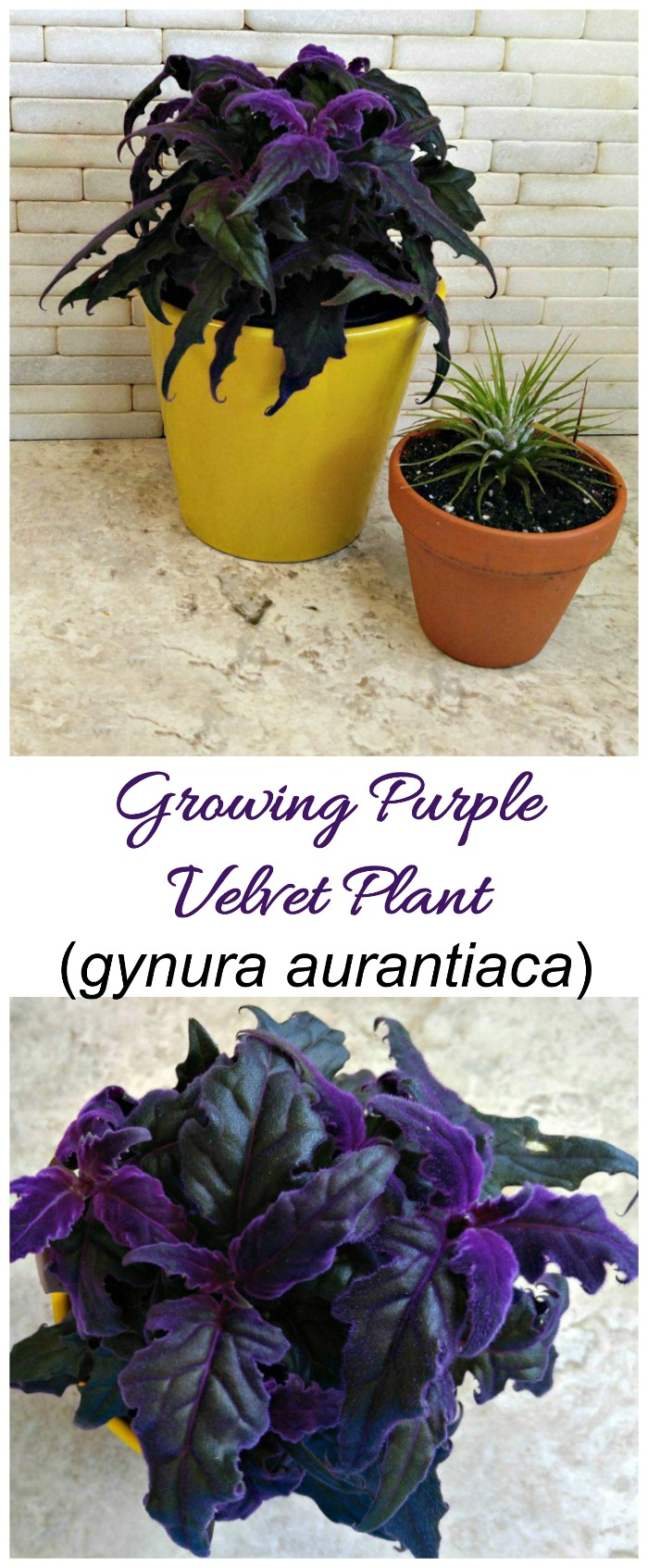 Purple velvet plant is a tropical houseplant from Java with velvety soft leaves in a bright purple color.