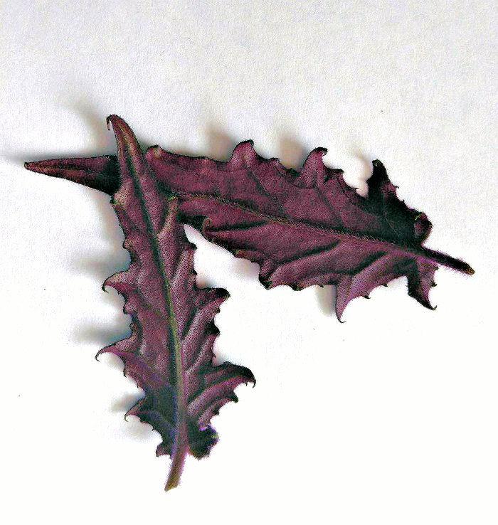 Underneath of leaves of Purple velvet plant