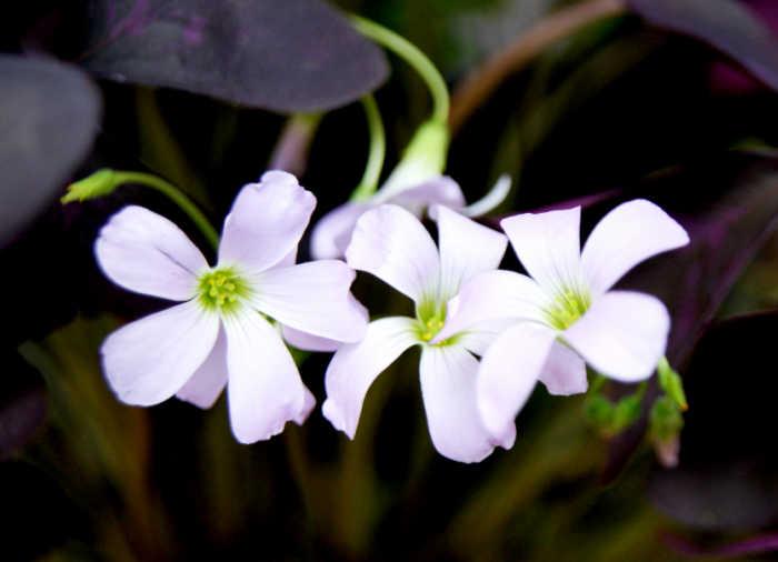 Flowers of oxalis traingularis.