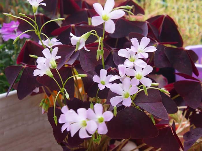 Purple oxalis in flower.