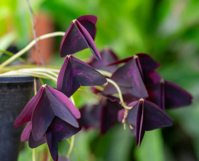 Leaves of oxalis closed up - a trait called Nyctinasty.
