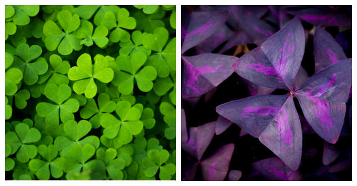 Green and purple leaves of oxalis plant in a collage.