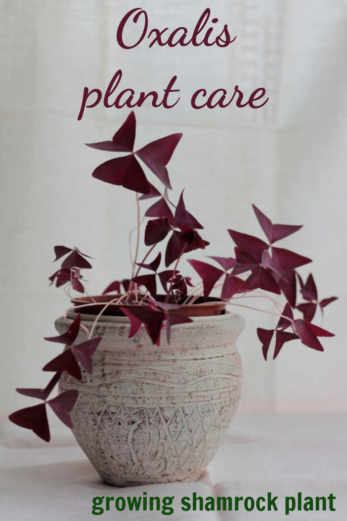 """Osalis triangularis in a white pot with words reading """"Oxalis plant care - growing shamrock plants."""""""