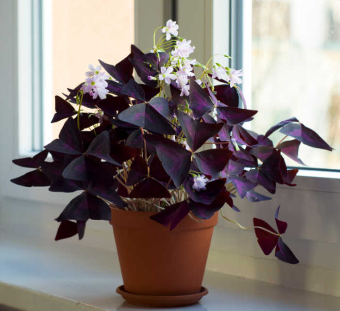 Purple ozalis plant on a sunny windowsill in flower.