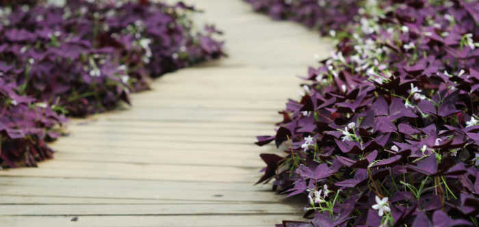 Oxalis plant care - use it as a border plant: Oxalis triangularis in flower along a wooden walk way.