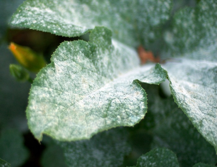 Powdery mildew on pumpkin leaves is one of the common vegetable garden problems