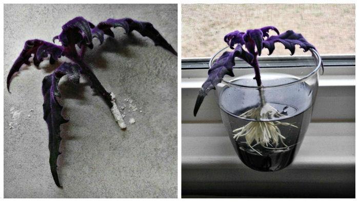 Propagating purple velvet plant