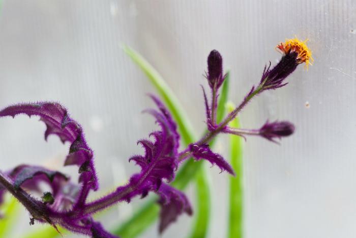Purple velvet flower has an offensive smell.