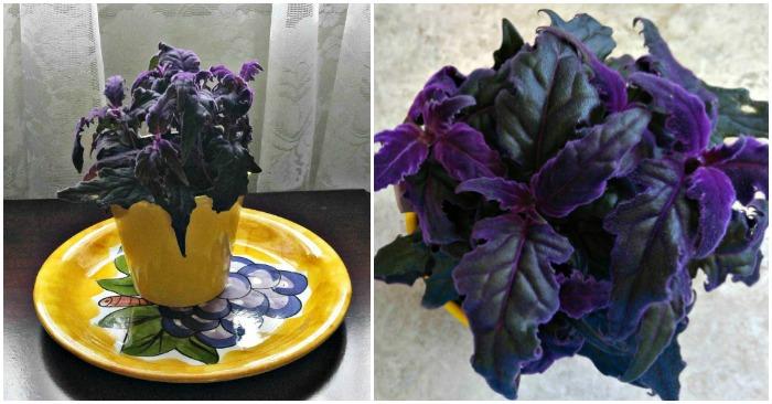 Purple velvet plant - gynura aurantiaca
