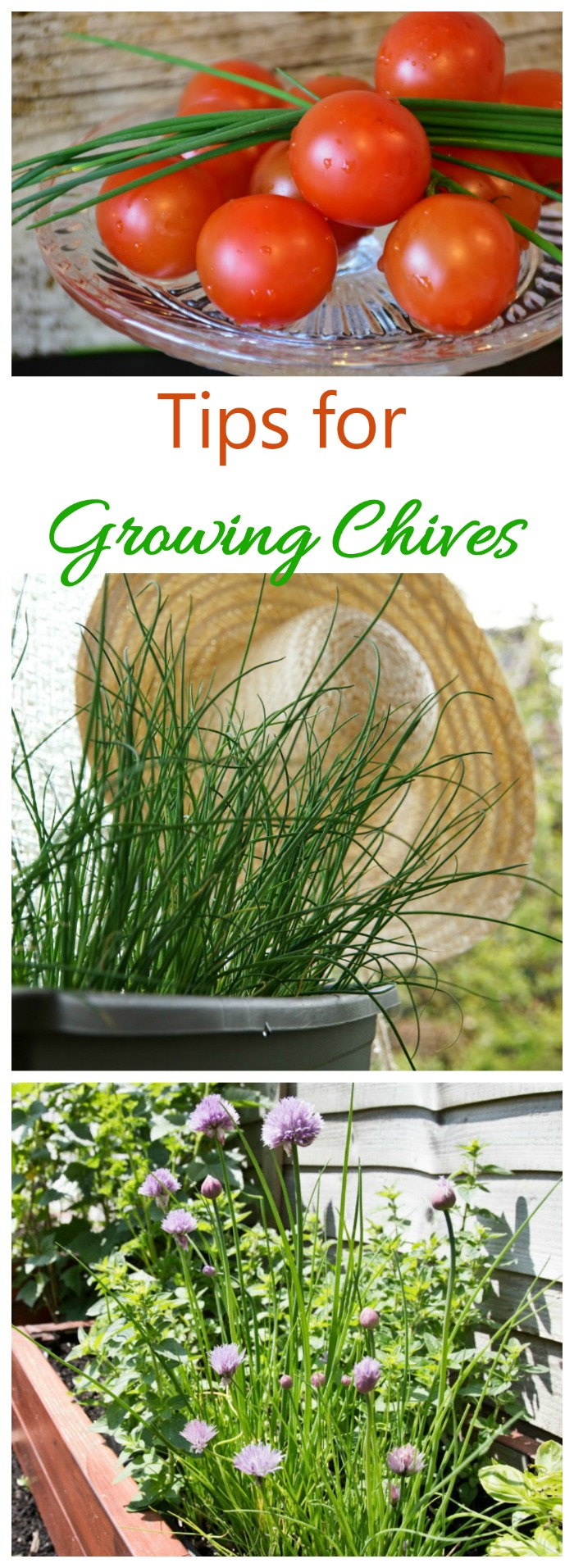 Growing chives is easy. They can be grown in the ground or in pots and containers. See my tips for growing this essential kitchen herb.