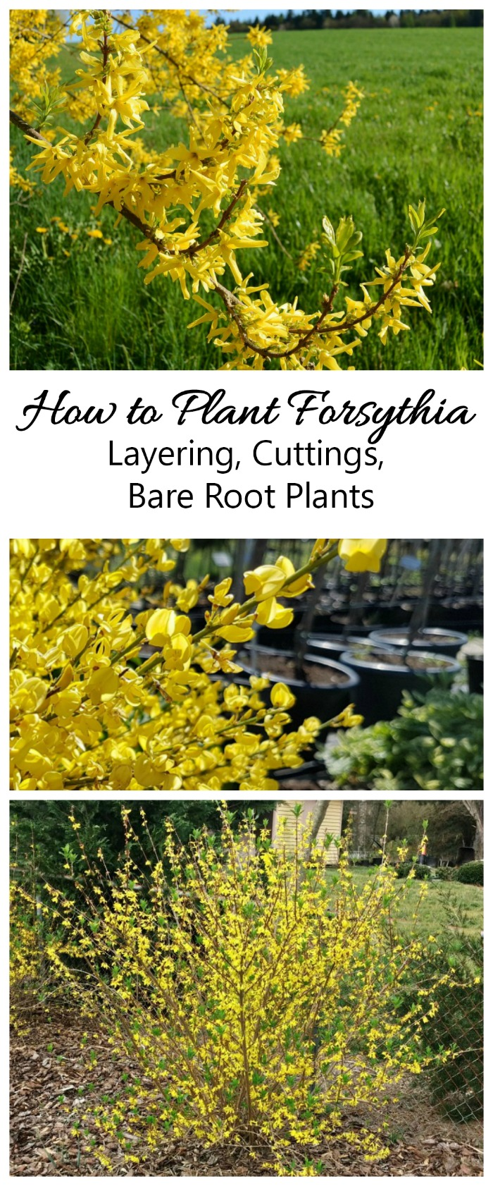 Forsythia is one of the first plants to bloom in spring. These tips will show you how and when to plant this perennial plus how to layer, take cuttings and more.