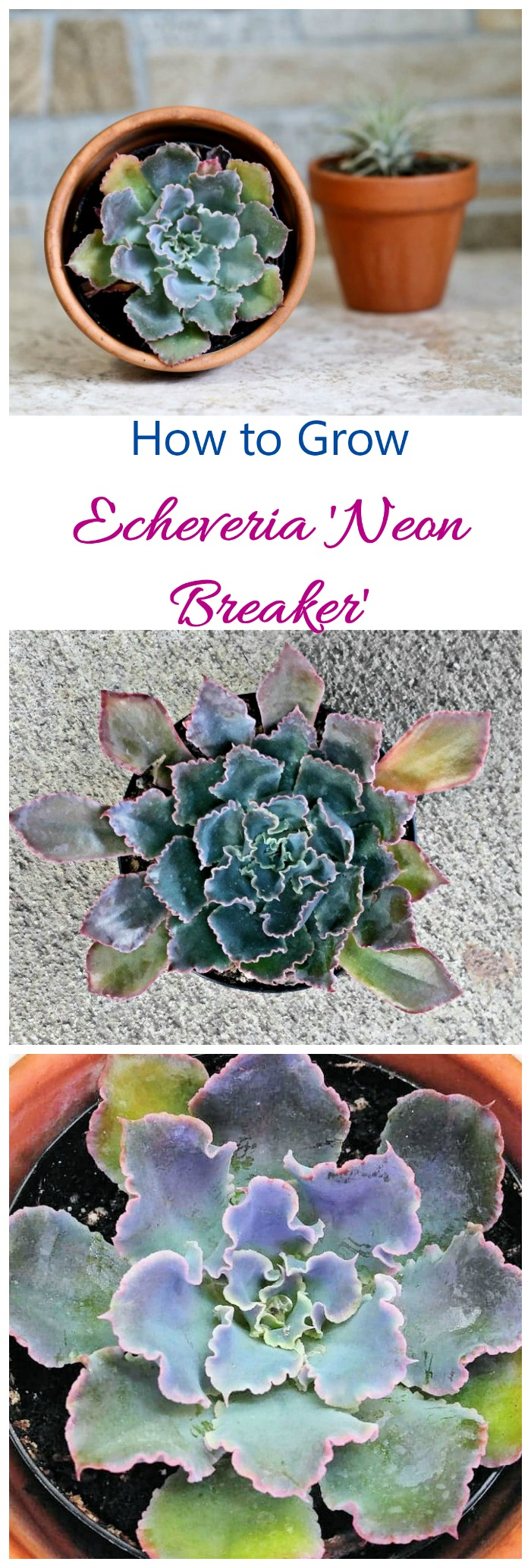 Echeveria Neon Breakers has blue green leaves with deep pin margins and curled edges. It is drought resistant and easy to grow if you follow a few tips.