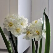 Forcing paperwhites indoors