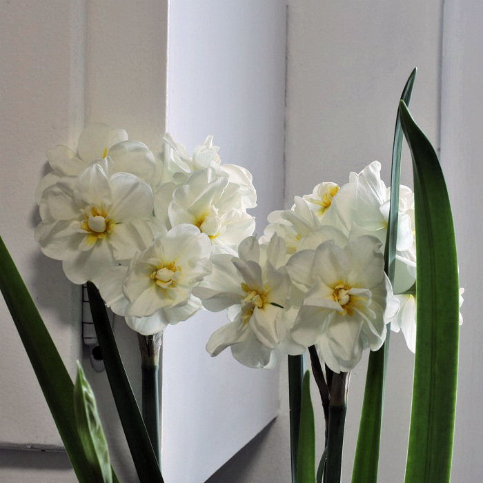 Forcing Paperwhites - How to Force Paperwhite Narcissus Bulbs