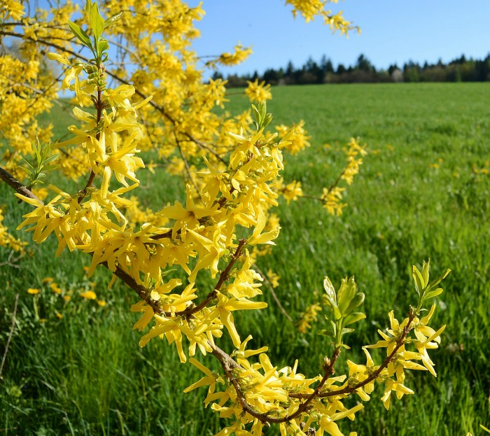 Plant forsythia in early spring or mid fall depending on your zone