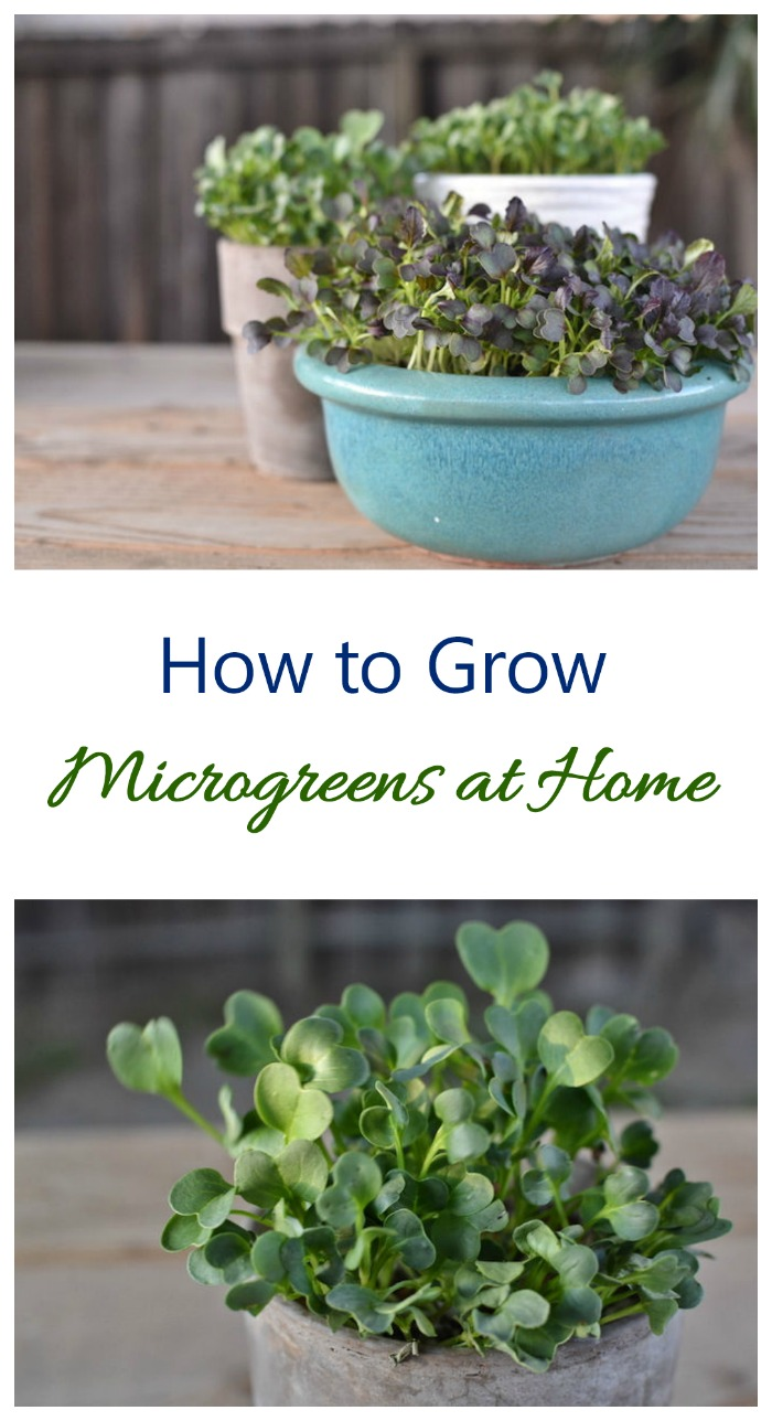 Growing microgreens at home is very easy. They make great indoor plants and are also edible in salads and sandwiches